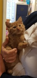 Ginger foster kitten at Yorkshire Cat Rescue
