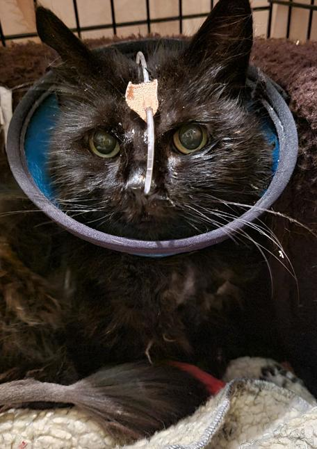 Poorly cat at Yorkshire Cat Rescue