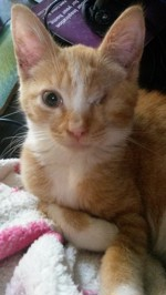Cassidy, a one eyed kitten who was in foster care at Yorkshire Cat Rescue