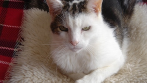 Tabby and white cat with crossed legs advertising trustee vacancies at Yorkshire Cat Rescue