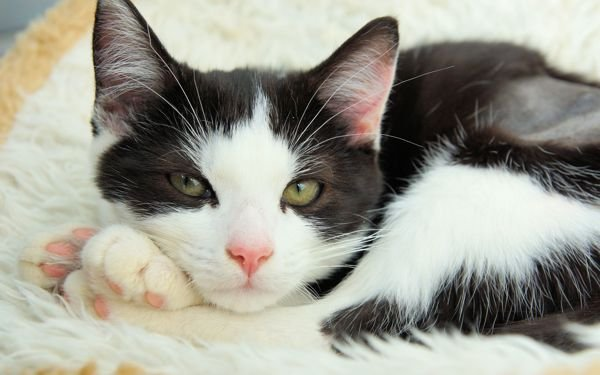 Molly - black and white cat at Yorkshire Cat Rescue