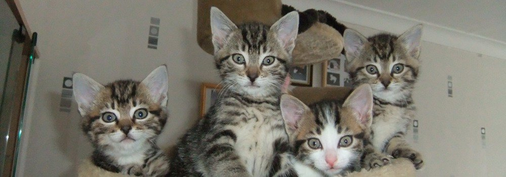 Tabby kittens at Yorkshire Cat Rescue