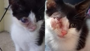 Kitten with eye removed before and after at Yorkshire Cat Rescue
