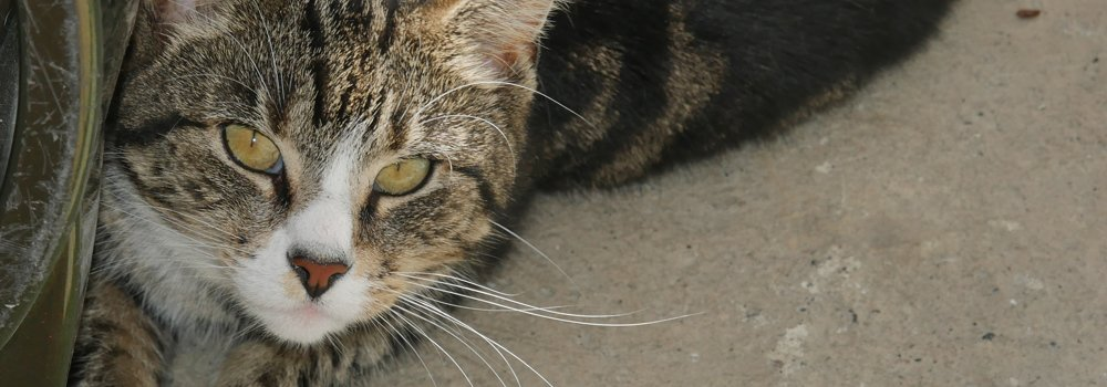 Tabby cat at Yorkshire Cat Rescue