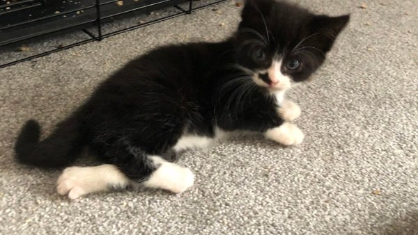 Black and white kitten with poorly leg at Yorkshire Cat Rescue
