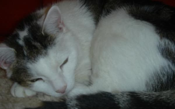 Tabby and white cat sleeping at Yorkshire Cat Rescue