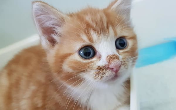 Ginger kitten at Yorkshire Cat Rescue