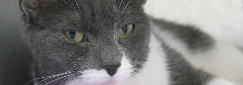 Grey and white cat at Yorkshire Cat Rescue