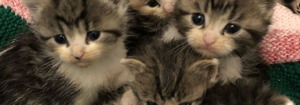 Poorly tabby and white kittens at Yorkshire Cat Rescue