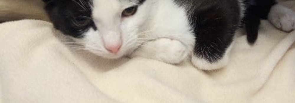 Black and white cat with injuries at Yorkshire Cat Rescue