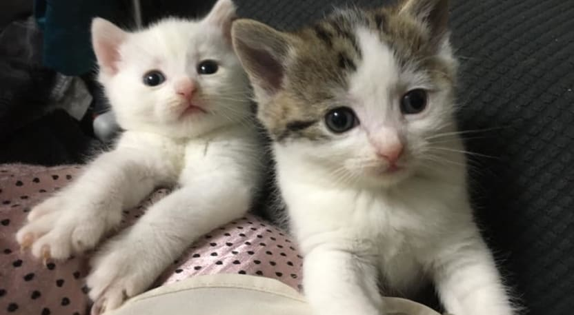 Kittens at Yorkshire Cat Rescue
