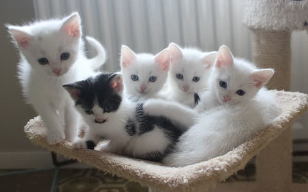 Cute fluffy white kittens at Yorkshire Cat Rescue